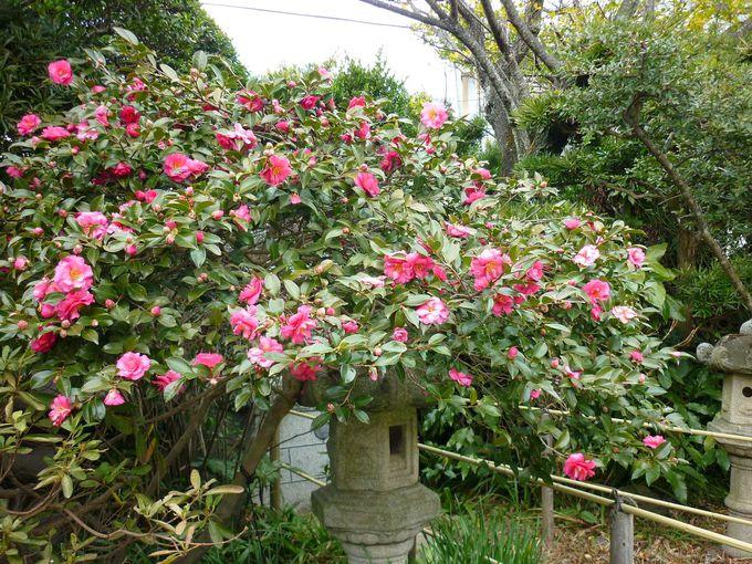 牡丹餅寺にちなんだ牡丹ではないけれど、牡丹咲の八重椿。