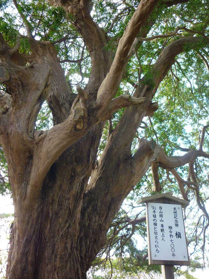 樹齢700年の御神木は大空高くそびえ立っています。
