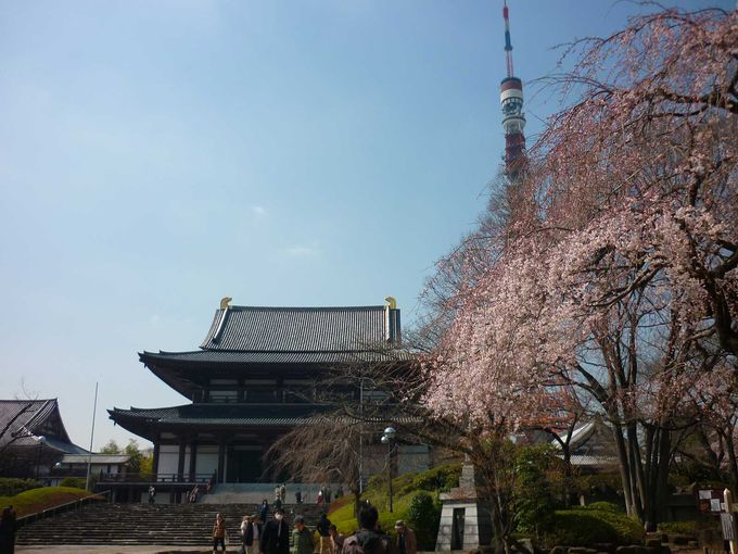 増上寺に訪れた春!