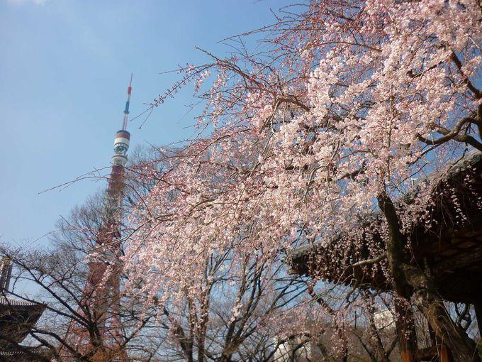 東京タワーにも映える桜
