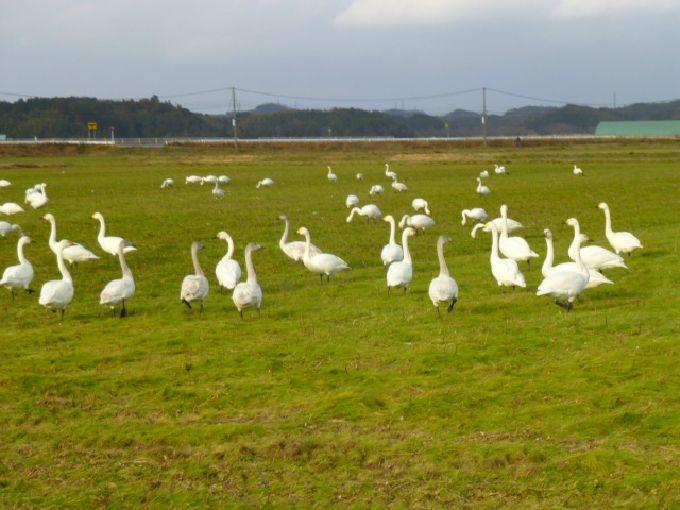 餌付けをしていない自然な白鳥たち