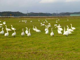 冬ならではの撮影スポット!「白鳥ロード」と良縁結びの「つなぎ石」島根県安来市