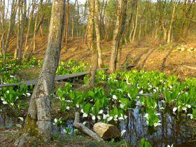 山形に春の訪れ!「いいで添川水芭蕉群生地」静かなお花見スポット|山形県|トラベルjp<たびねす>