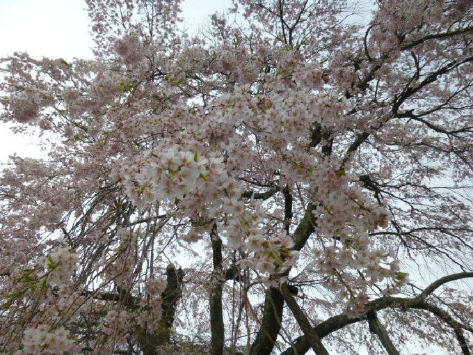 寺子屋だった「上石の不動桜」