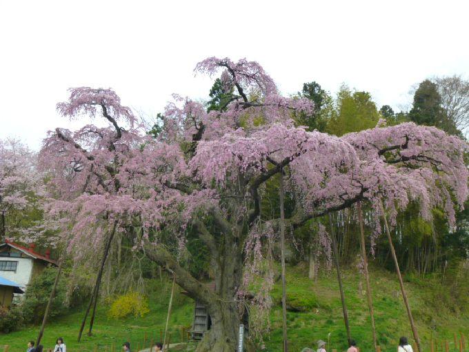 人気急上昇の「紅枝垂地蔵桜」