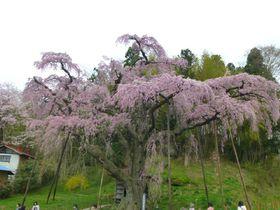 東北への桜旅!福島「三春滝桜の娘たち」見頃は4月中旬から|福島県|トラベルjp<たびねす>