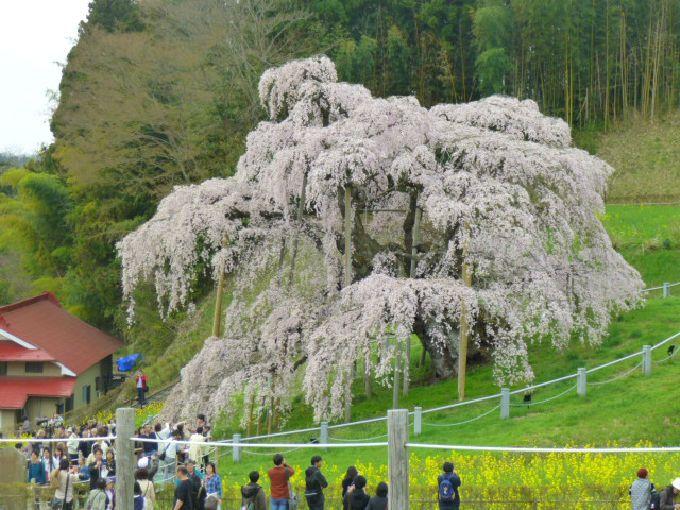 日本三大桜の「三春滝桜」