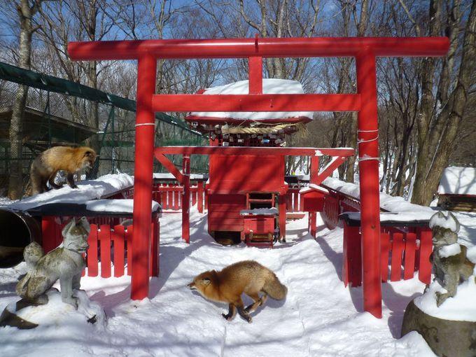御金稲荷神社にもキツネが遊ぶ