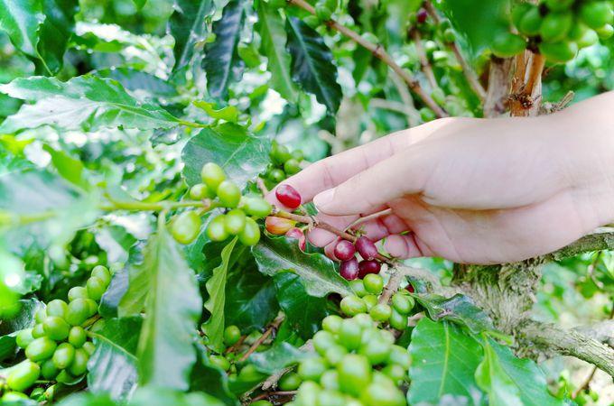 コーヒー農園ツアーでコーヒーができるまでを見学!