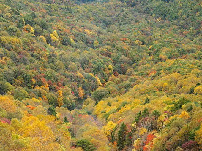 紅葉のじゅうたんの上をしばし空中散歩