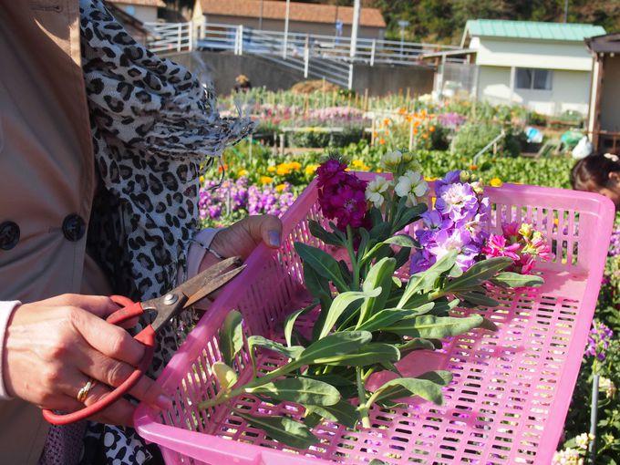 鮮やかなお花の絨毯!千倉・白間津で花摘み