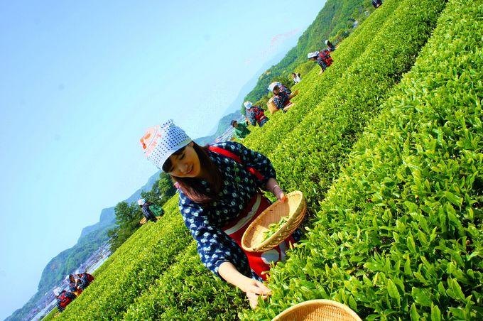 世界遺産「韮山反射炉」の隣で静岡ならではの茶摘み体験?