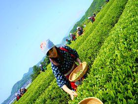 期間限定!伝統衣装で茶摘み体験!静岡「蔵屋鳴沢」茶畑はあの世界遺産の隣!?