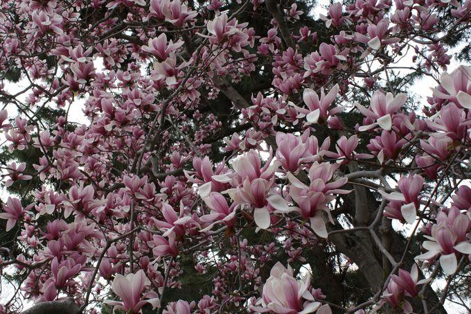 紫の大きなモクレンの木に出会う中立売通門(なかだちうりどおりもん)
