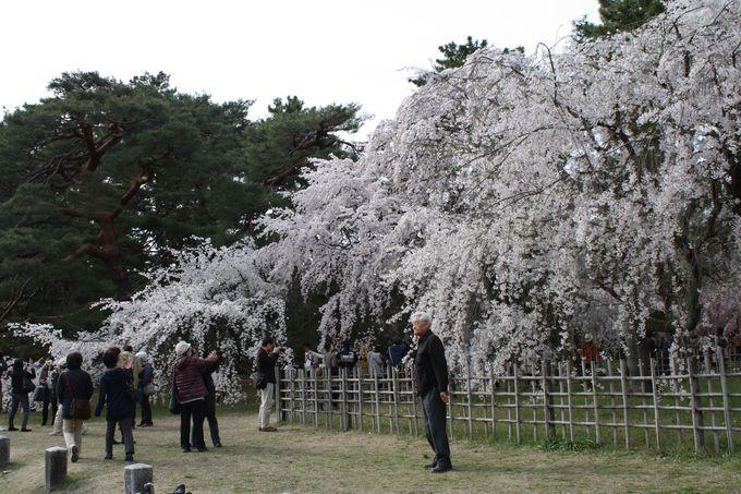 頭を垂れて咲く御苑のしだれ桜たち