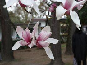 春の京都御苑ではモクレンを見逃さないで!