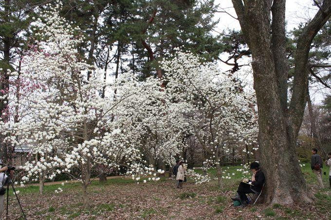 「猿が辻」横の森でひときわ美しく咲く白いモクレン