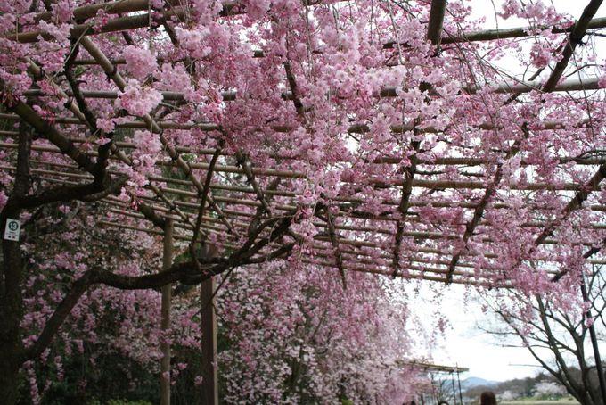 ソメイヨシノと入れ替えに咲く74本の紅枝垂桜
