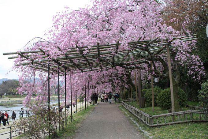 紅枝垂桜に酔いしれる800mのお花見コース。京都鴨川沿い「半木の路」