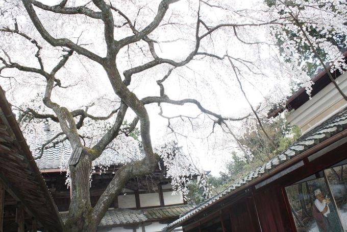 「三方普感の庭」に咲く樹齢200年の枝垂れ桜
