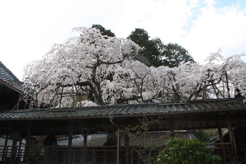 """京都の古刹・十輪寺に咲く、たった一本の""""なりひら桜"""""""