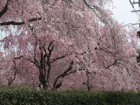 まさに桃源郷!桜の時期だけ一般公開される京都「原谷苑」