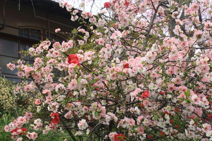 可愛いボケの花もあり。苗木も購入できます