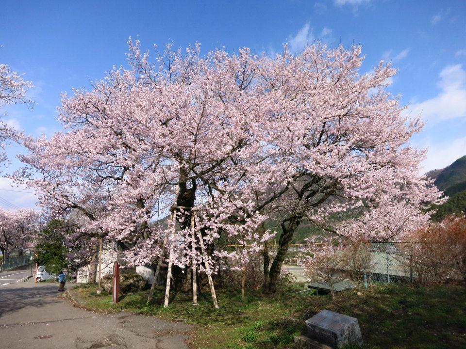 5月まで楽しめるお薦めの一本桜(長野・須坂)