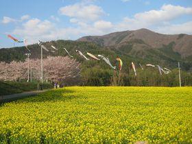 一面の菜の花に圧倒!「おぼろ月夜」のモチーフ!飯山市・菜の花公園