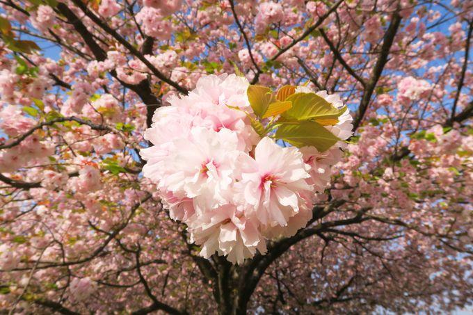 菜の花と一緒に楽しめる遅咲きモコモコの八重桜のトンネル!