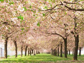 菜の花、桜、ハナモモまで!長野県・小布施町「千曲川河川公園」で春を感じる!