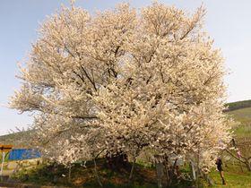 約1カ月まるまる楽しめる!長野県桜の名所 開花順ガイド