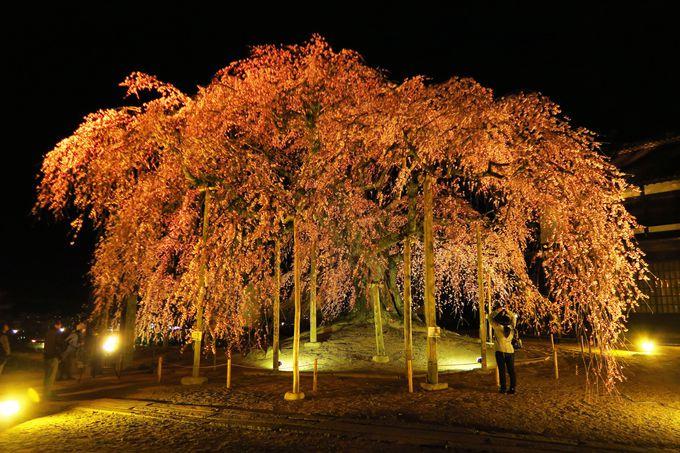 4月上旬 「飯田市」桜並木から、珍しい品種の桜まで!