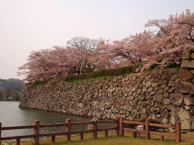 堀を囲う美しい桜!