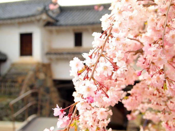 姫路城は日本の桜の名所100選認定。