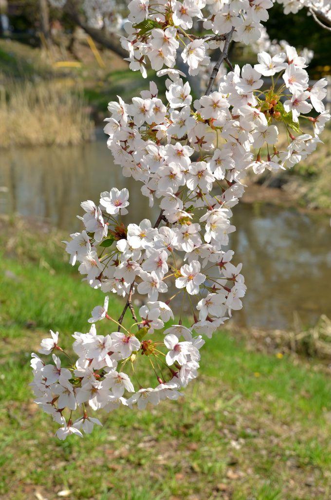 護国神社で薄紅の桜を堪能
