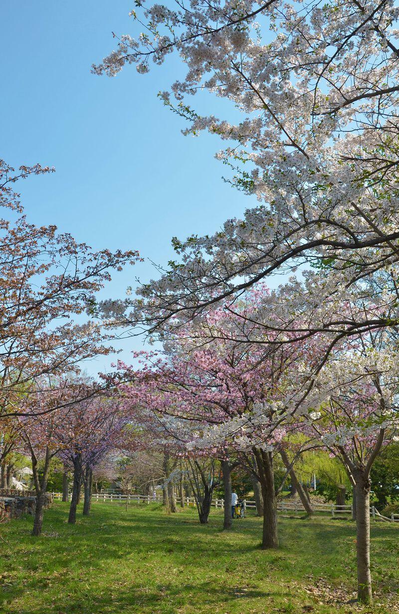 アクセス至便!訪れやすい「札幌護国神社」でお花見散歩