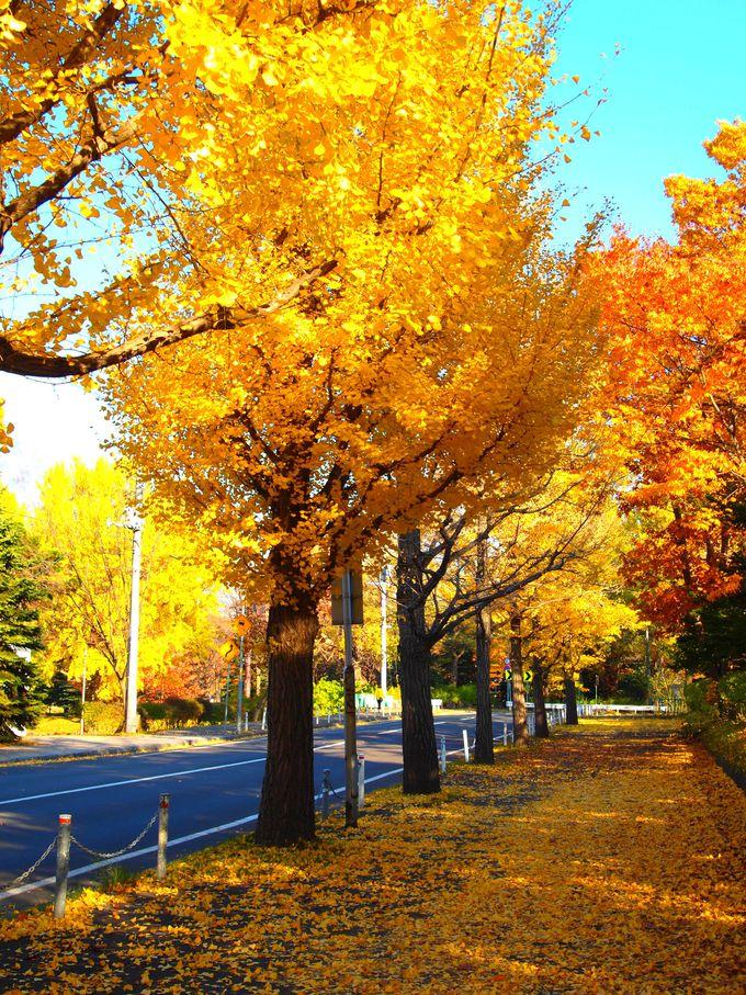 秋には一面のイチョウの小道に