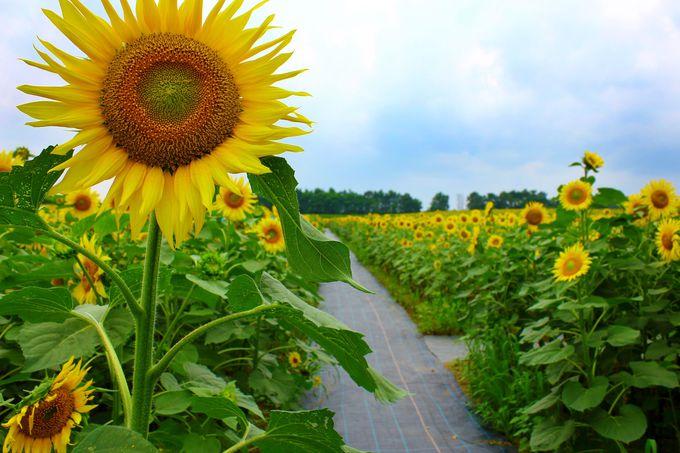 ひまわりの里、北竜町の夏に「ひまわりまつり」が開催!!
