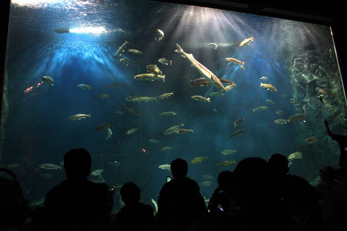 迫力満点!日本最大の淡水水槽でサケの成長観察!