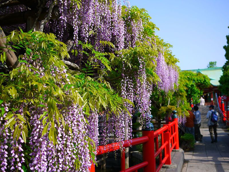桜だけが花見じゃない!藤も美しい亀戸天神と江戸下町グルメランチ