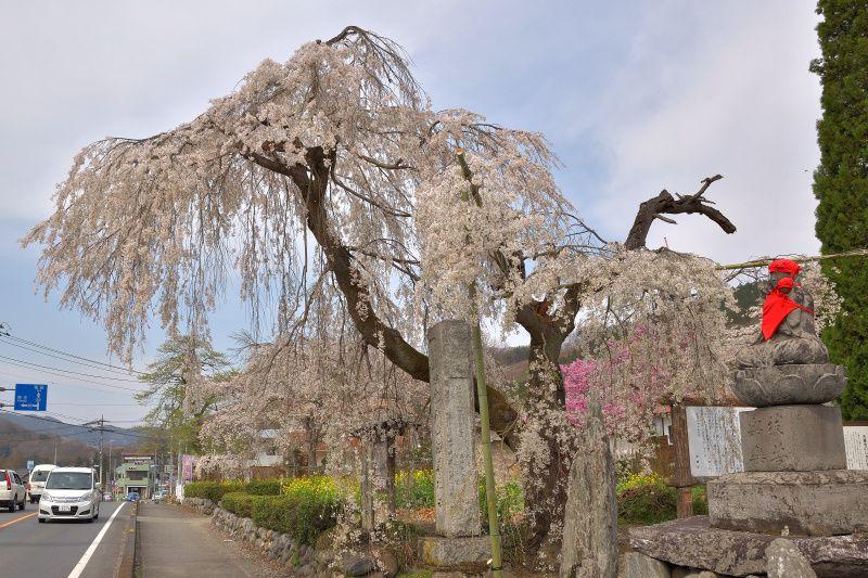 """「法善寺」の""""桜のアーチ""""で桜を愛でよう"""