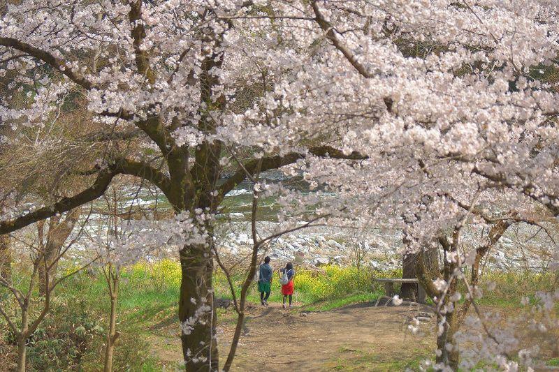 """趣の違う「南桜通り」の""""桜のトンネル""""も味わおう"""