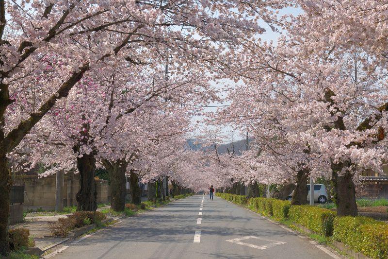 """「北桜通り」の""""桜のトンネル""""で花見を満喫しよう"""