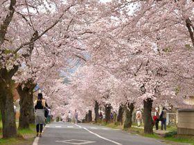 まるで桜のトンネル!秩父郡長瀞町の厳選花見スポット5選|埼玉県|トラベルjp<たびねす>