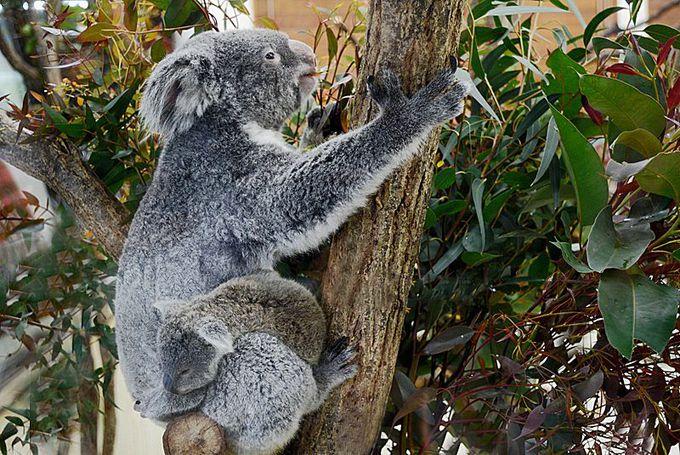 起きている姿に会えるコアラ