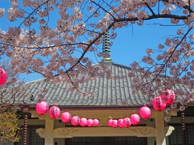 ソメイヨシノの菩提寺