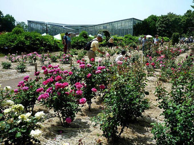 進化し続ける新品種のバラ