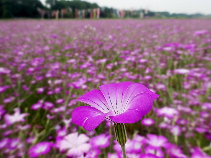 紫の眺望「麦なでしこまつり」