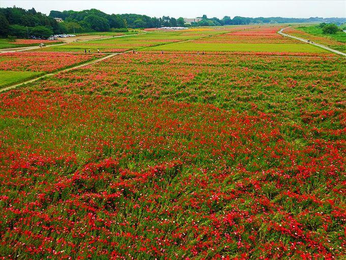 日本一のポピー栽培面積
